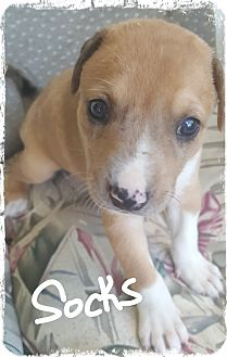 Catahoula Leopard Dog/Boxer Mix Puppy for adoption in Palm Bay, Florida - Socks ready 7/13/17