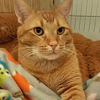 Domestic Shorthair Cat for adoption in McPherson, Kansas - Nemo