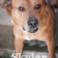Adopt A Pet :: Skylar - Salem, OH