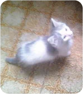 Domestic Longhair Kitten for adoption in Grove City, Ohio - BABY