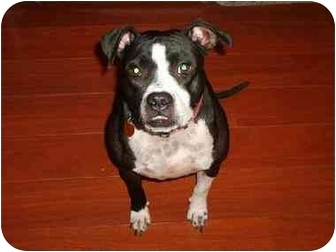 American Pit Bull Terrier/American Pit Bull Terrier Mix Dog for adoption in Goose Creek, South Carolina - Suey Dolittle
