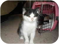 Domestic Shorthair Kitten for adoption in Tampa, Florida - Amelia
