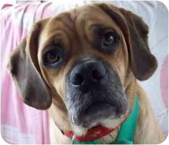 Pug/Beagle Mix Dog for adoption in McArthur, Ohio - JUDE