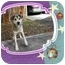 Photo 2 - Husky Mix Dog for adoption in Portland, Maine - Bear