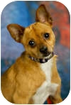 Chihuahua/Miniature Pinscher Mix Dog for adoption in Anchorage, Alaska - Duke