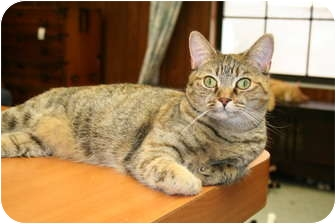 Domestic Shorthair Cat for adoption in Naples, Florida - jelly