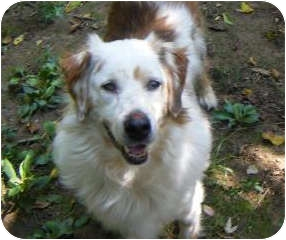 Australian Shepherd/Beagle Mix Dog for adoption in Rockville, Maryland - Derby