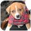 Photo 1 - Boxer Mix Puppy for adoption in Hainesville, Illinois - Baby Boy