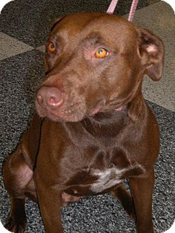 Labrador Retriever Mix Dog for adoption in Humble, Texas - Baba Yaga