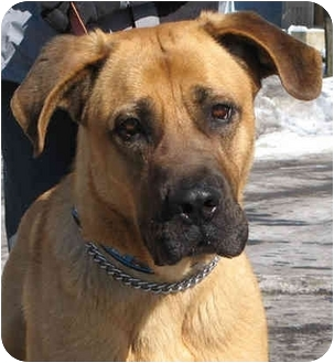 Mastiff Mix Dog for adoption in Chicago, Illinois - Lulabelle