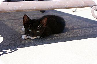 Domestic Shorthair Cat for adoption in Barnegat, New Jersey - Simon