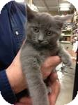 Domestic Shorthair Kitten for adoption in Pittstown, New Jersey - Prudence