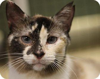 Domestic Shorthair Cat for adoption in Alexandria, Virginia - Souffle