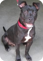 Labrador Retriever/Pit Bull Terrier Mix Dog for adoption in Bloomfield, Connecticut - Motive