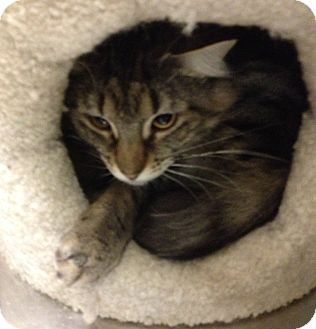 Maine Coon Cat for adoption in Pittstown, New Jersey - Elvira