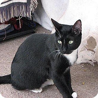 Domestic Mediumhair Cat for adoption in Havana, Florida - Sampson