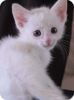 Colorpoint Shorthair Kitten for adoption in Fountain Hills, Arizona - NINO