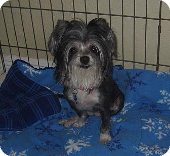 Shih Tzu/Maltese Mix Dog for adoption in Wellington, Florida - BETSY