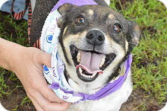 Terrier (Unknown Type, Small)/Chihuahua Mix Dog for adoption in Mayflower, Arkansas - Peanut