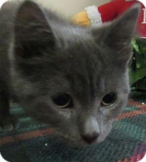 Domestic Shorthair Kitten for adoption in Lloydminster, Alberta - Lil Joe