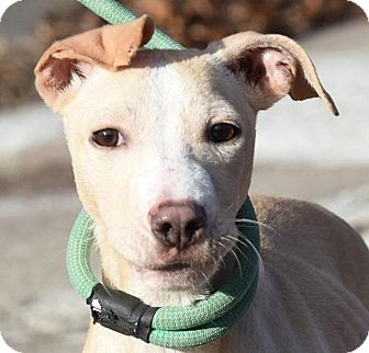 American Pit Bull Terrier/Italian Greyhound Mix Puppy for adoption in New Haven, Connecticut - FRENCHY