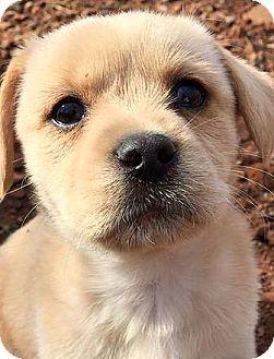 Labrador Retriever Mix Puppy for adoption in CUMMING, Georgia - Lucky