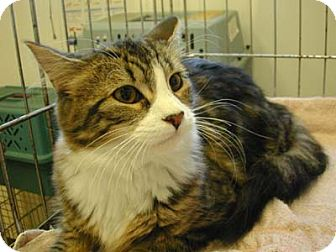 Domestic Shorthair Cat for adoption in Wakefield, Massachusetts - Morgan
