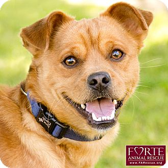 Pug/Shiba Inu Mix Dog for adoption in Marina del Rey, California - Carter