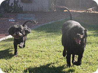 Spaniel (Unknown Type)/Schnauzer (Miniature) Mix Dog for adoption in Henderson, Nevada - Cappy and Ella