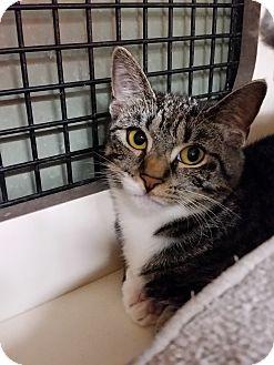Domestic Shorthair Kitten for adoption in Little Falls, New Jersey - Nikki (CV)