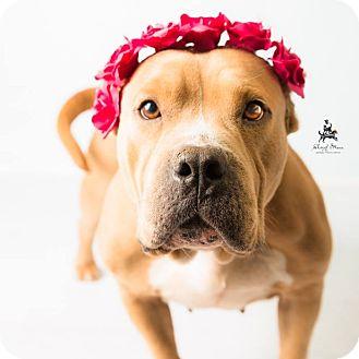 Pit Bull Terrier Mix Dog for adoption in Hendersonville, North Carolina - Ryann