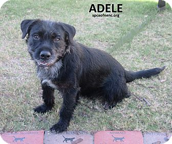 Catahoula Leopard Dog/Wirehaired Fox Terrier Mix Dog for adoption in Elizabeth City, North Carolina - Adele