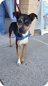 Fox Terrier (Smooth)/Australian Shepherd Mix Dog for adoption in Florence, Kentucky - Louie