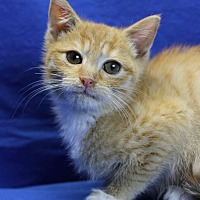 Domestic Shorthair Kitten for adoption in Winston-Salem, North Carolina - Matches