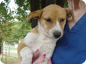 Australian Cattle Dog Mix Puppy for adoption in Cushing, Oklahoma - SOPHIE adopted