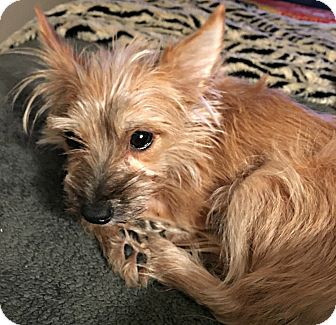 Yorkie, Yorkshire Terrier/Cairn Terrier Mix Dog for adoption in Boulder, Colorado - Truffles