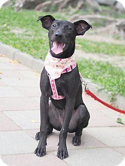 Labrador Retriever/Shepherd (Unknown Type) Mix Puppy for adoption in San Mateo, California - Selena