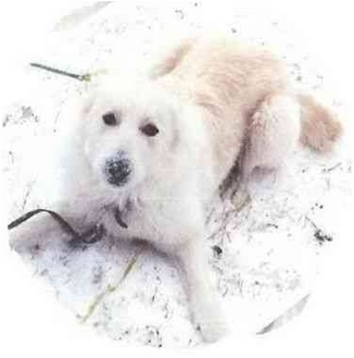 Golden Retriever/Great Pyrenees Mix Dog for adoption in Kyle, Texas - Jenny