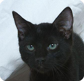 Domestic Shorthair Kitten for adoption in Sacramento, California - Aiden V