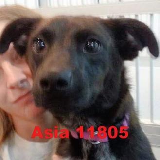 Jack Russell Terrier/Labrador Retriever Mix Dog for adoption in Manassas, Virginia - Asia