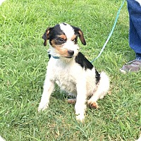 Jack Russell Terrier/Terrier (Unknown Type, Small) Mix Puppy for adoption in Washington, D.C. - Donnie