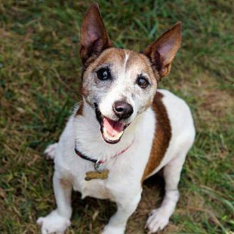 Jack Russell Terrier Dog for adoption in Bealeton, Virginia - Rex