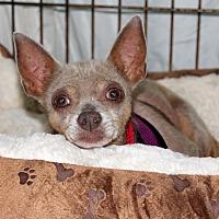 Adopt A Pet :: Gizmo - Harrison, NY
