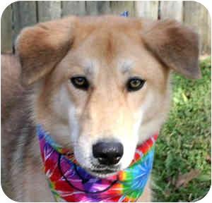 Collie/German Shepherd Dog Mix Dog for adoption in Cincinnati, Ohio - Nala
