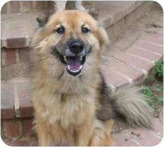 Collie/Finnish Spitz Mix Dog for adoption in Randolph, New Jersey - Trixie- good with Cats!