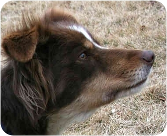 Border Collie Dog for adoption in Bellevue, Nebraska - Binne