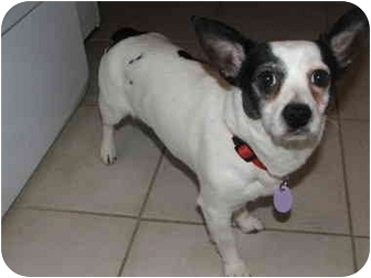 Chihuahua Mix Dog for adoption in Rigaud, Quebec - Zorro