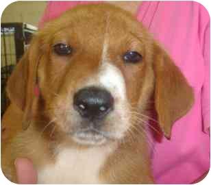 Labrador Retriever/Golden Retriever Mix Puppy for adoption in Old Bridge, New Jersey - Judge