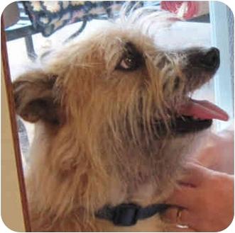 Cairn Terrier/Border Terrier Mix Dog for adoption in Poway, California - Barney Google