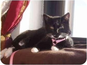 Domestic Shorthair Kitten for adoption in Medford, Massachusetts - Ring Ding